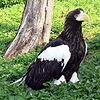Haliaeetus pelagicus 2