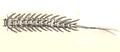 Haliplus fulvus larva.png
