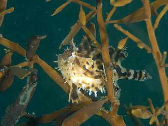 Atlantic Ocean - Sargassum fish (Histrio histrio)