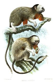 White-footed tamarin species of mammal