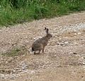 Hare - Flickr - gailhampshire.jpg