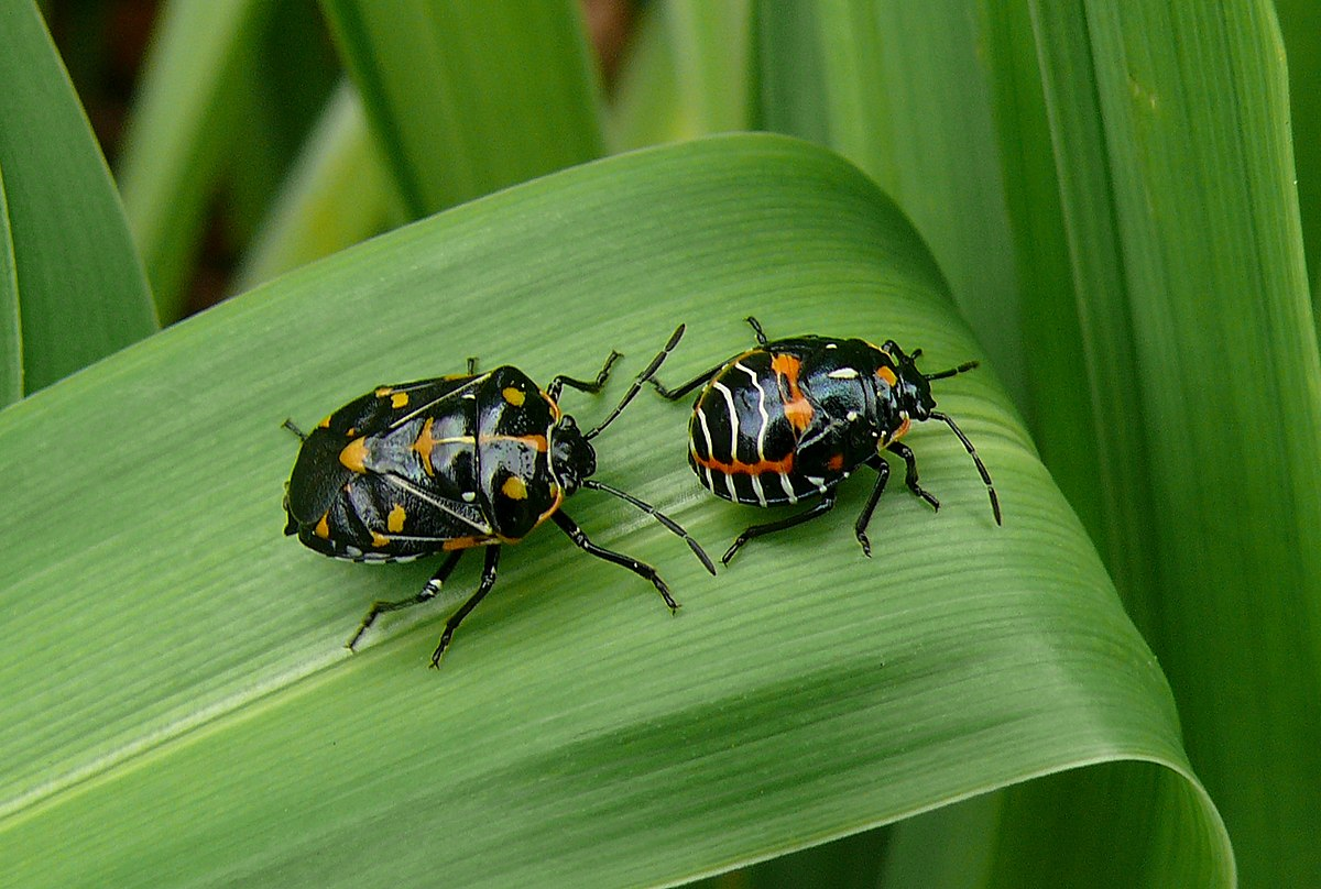 Harlequin cabbage bug - Wikipedia