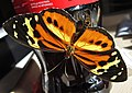 Harmonia Tigerwing (6954700638).jpg