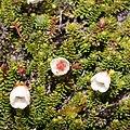 Harrimanella stelleriana (flower s4).jpg