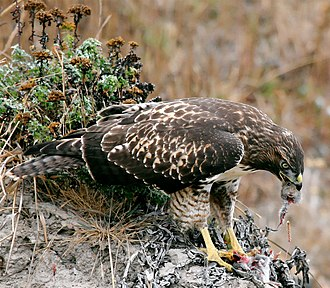 Ecology - Image: Hawk eating prey
