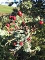 Hawthorn Berries - geograph.org.uk - 581902.jpg