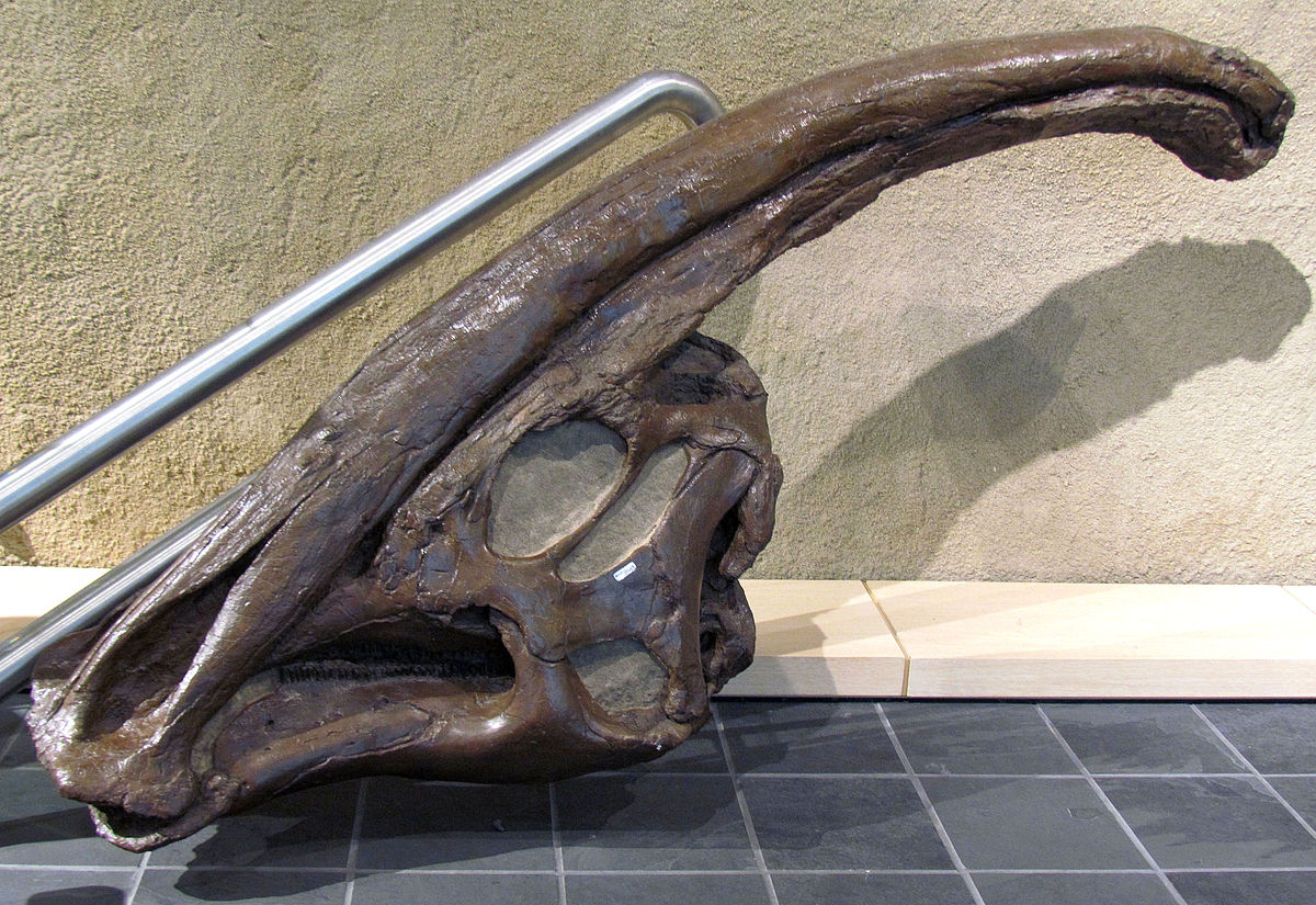 Head of Parasaurolophus.jpg