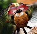 Head of a Dragon Fly..jpg
