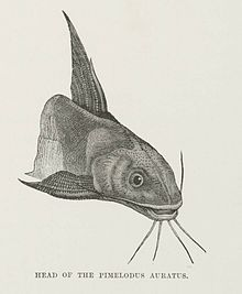 Head of the Pimelodus Auratus (1878) - TIMEA.jpg
