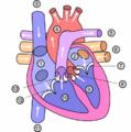 Heart numlabels.png
