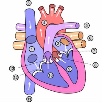atrium anatomie wikip dia