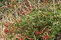 Heartleaf Keckiella - Keckiella cordifolia (43818527031).jpg