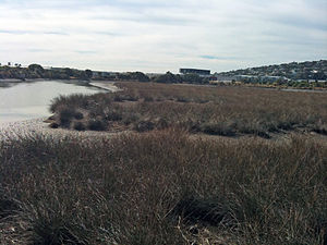 Salt marsh - An estuarine salt marsh along the Heathcote River, Christchurch, New Zealand