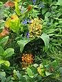 Hedychium coccineum & Salvia guaranitica Black & Blue (9994837195).jpg