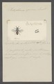 Hedychrum - Print - Iconographia Zoologica - Special Collections University of Amsterdam - UBAINV0274 046 01 0034.tif