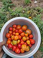 Heirloom tomatoes collected from the farm.jpg