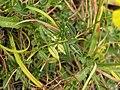 Helianthemum nummularium leaf (01).jpg