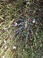 Helichrysum sanguineum IMG 5428.jpg