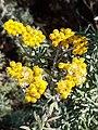 Helichrysum splendidum06.jpg