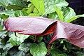 Heliconia edwardus-rex 1zz.jpg