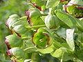 Helleborus foetidus2.jpg