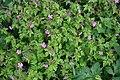 Herb Robert (Geranium robertianum) - geograph.org.uk - 443234.jpg