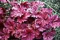 Heuchera 'Berry Smoothie' at RHS Garden Hyde Hall, Essex, England 01.jpg