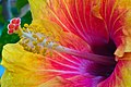 Hibiscus close up-3+ (2552232280).jpg