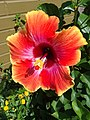 Hibiscus flower in Arlington, VA.jpg