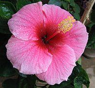 Hibiscus pink.jpg