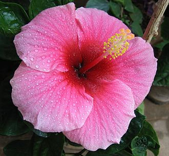 Adhesion - Water droplets are flatter on a Hibiscus flower which shows better adhesion.