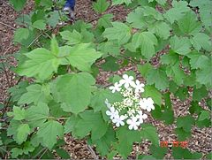 Highbush Cranberry.jpg