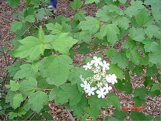 Viburnum trilobum - Image: Highbush Cranberry
