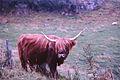 Highland cow, Mull, Argyll, Scotland, 1967 - Flickr - PhillipC.jpg