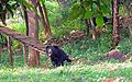 Himalayan Bear in Visakhapatnam Zoo.jpg