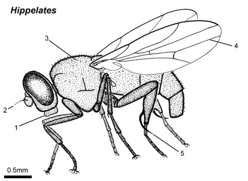 Hippelates adult lateral.png