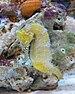 Barbour's Seahorse - Photo Stickpen, no known copyright restrictions (public domain)