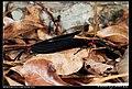 Histia flabellicornis (5404944692).jpg