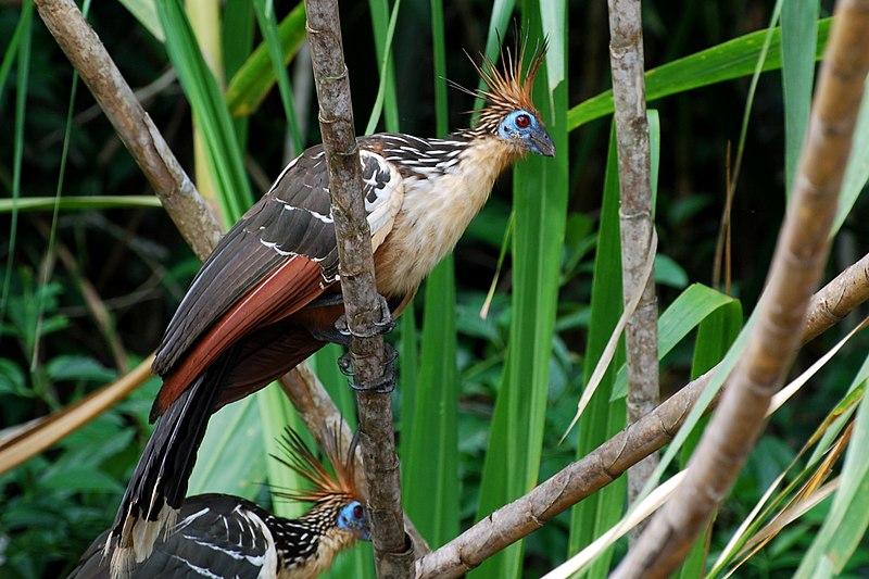 File:Hoatzins in Ecuador.jpg