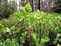 Holovne Liubomlskyi Volynska-zakaznyk botanical Spruce forest-flowers of Vaccinium myrtillus.jpg