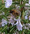 Honey bee on rosemary flower, Sandy, Bedfordshire (6908261598).jpg