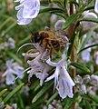 Honey bee on rosemary flower, Sandy, Bedfordshire (6908261598).jpg