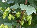 Hop (Humulus lupulus) (16678811553).jpg