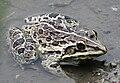 Hoplobatrachus tigerinus.jpg