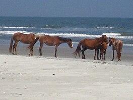 wild (feral) horses