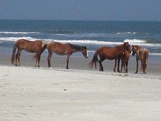 Cumberland Island horse - Cumberland Island horses on the beach