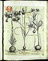 Hortus Eystettensis, Vorzeichnungen (MS 2370 2952685) -Aestiva,3,10.jpg
