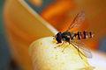Hoverfly episyrphus balteatus.jpg