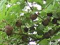 Hrast medunac (Quercus pubescens).JPG