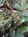 Humboldtia brunonis Wall. 17.JPG